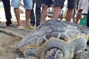 4 người dân góp tiền mua, phóng sinh rùa nặng 70kg