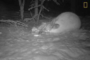 Clip: Thỏ rừng Canada ăn thịt đồng loại gây sửng sốt giới khoa học