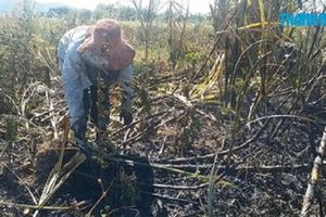 Đắk Lắk: Cánh đồng mía bị cháy, 10 hộ dân trồng mía mất trắng