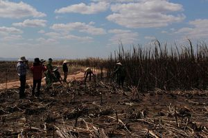 Đắk Lắk: Hơn 100 ha mía sắp thu hoạch bị cháy rụi