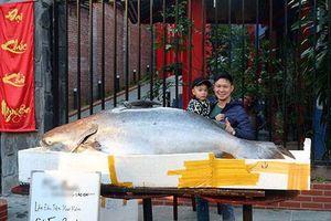 Cá tra dầu 'khủng' chưa từng thấy xuất hiện ở thành phố Lào Cai