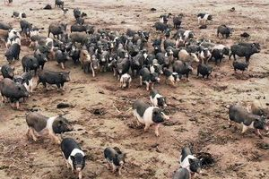'Đột nhập' trang trại lợn hương trị giá hơn 1 tỷ đồng chuẩn bị phục vụ Tết Kỷ Hợi