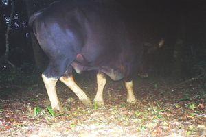 Quảng Bình: Phát hiện 3 con bò tót quý hiếm ở thượng nguồn suối Bang