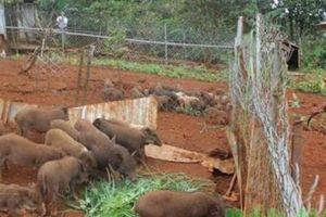 Nuôi loài lợn ăn tạp, thả bán hoang dã, lời mỗi năm 300 triệu đồng