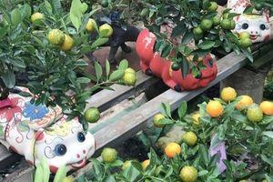 Độc đáo heo sứ cõng cây quất trên lưng giá bạc triệu ở Hà Nội
