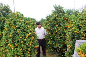 Nông dân Phú Yên được mùa hoa cúc, quất Tết