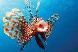 Loài cá độc nhất thế giới