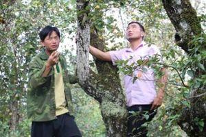 Trồng 40ha đặc sản táo sơn tra, nông dân Sơn La làm giàu
