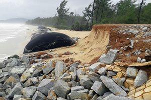 Sạt lở bờ biển ảnh hưởng 700 hộ dân Thừa Thiên - Huế