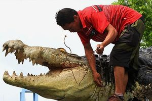Cá sấu xổng chuồng dài 5m nặng 590kg ăn thịt người huấn luyện