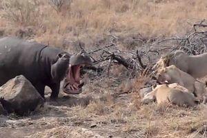 Hà mã liều lĩnh giành ăn với cả đàn sư tử