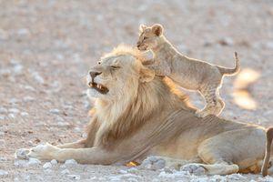 Nổi tiếng là loài vật hung dữ nhưng sư tử đực vẫn bị con này 'hành'