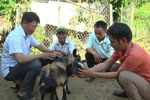 Hiệu quả từ phát triển chăn nuôi dê ở miền núi Quảng Trị