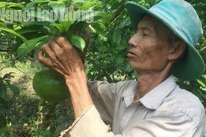 73 tuổi, cụ ông vẫn quán xuyến vườn đào tiên 'khủng' tạo hình hồ lô