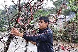 Buôn đào rêu mốc xù xì, dân vùng cao lãi bộn tiền