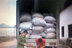 Quảng Ninh: Bắt giữ hơn 7 tấn củ ba kích tươi không rõ nguồn gốc