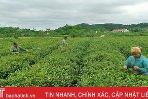 HTX nông nghiệp ở Vũ Quang: 'Lắt lay như đèn trước gió'!
