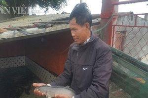 Nuôi loài cá lóc sộp và cây quả vàng trưng Tết, bỏ túi cả trăm triệu