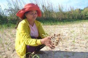Quảng Ngãi: Đảo Bé mất trắng vụ tỏi đông xuân