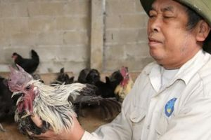 Nuôi loài gà đặc sản đen nhẻm, ông Tuyên có trăm triệu