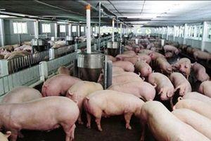 Giá heo (lợn) hơi hôm nay 18/1: Miền Trung tăng mạnh, miền Nam bất ngờ giảm