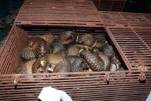 Triệt phá vụ nuôi, nhốt và buôn bán tê tê lớn nhất Hà Tĩnh