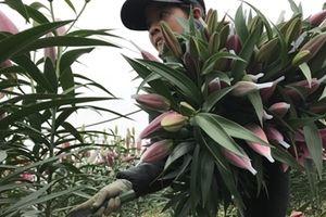 Hoa Ly bung nở trước tết, người dân Tây Tựu gấp rút thu hoạch sớm