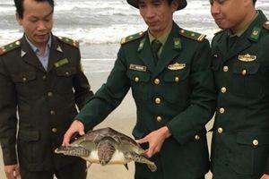 Cá thể Vích mắc lưới ngư dân được thả về môi trường tự nhiên