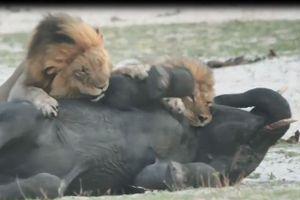 Đàn sư tử tấn công voi con và cái kết bất ngờ