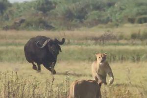 Trâu rừng đuổi sư tử chạy 'té khói'