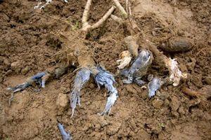 Nông dân thiệt hại lớn vì cây sắn thối củ
