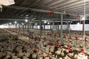 Kỳ công nuôi gà 'máy lạnh' xuất khẩu sang Nhật Bản