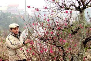 Kinh nghiệm chọn và chăm sóc hoa đào ngày Tết