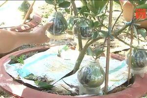 Bưởi hồ lô cảnh chơi Tết Kỷ Hợi 'gây sốt' ở Đồng Nai