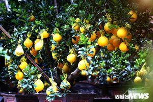 Bưởi vàng trưng Tết giá 70 triệu đồng/cây hút khách Sài Gòn