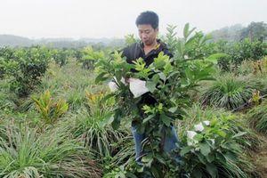 Nghệ An: 'Bắt' vườn ổi cho quả quanh năm
