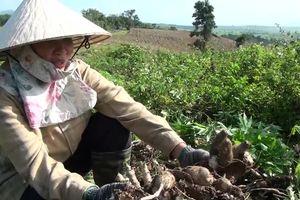 Sắn thối củ, nông dân Phú Yên thiệt hại lớn