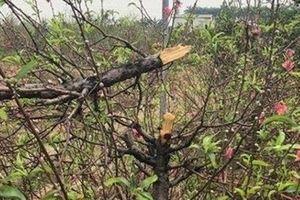 Hàng trăm gốc đào trị giá tiền tỉ ở Bắc Ninh bị phá hoại trong đêm