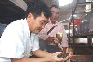 Thầy giáo bỏ nghề về quê...nuôi ruồi lấy trứng, bán 30 triệu/ký
