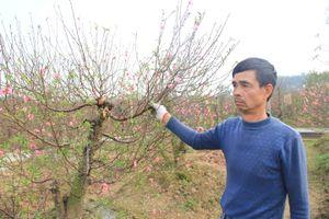Cận cảnh vườn đào bị kẻ xấu chặt phá ngày cận Tết ở Bắc Ninh, mỗi gia đình thiệt hại hàng trăm triệu đồng