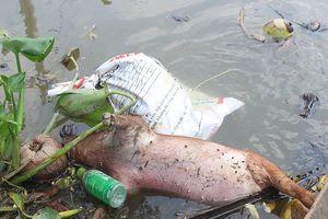 Xác heo chết vì dịch nổi đầy trên sông ở Bến Tre