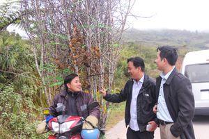 Rộn ràng mua bán đào 'đá' dưới đỉnh Pù Xai Lai Leng