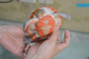 Chàng trai bỏ việc nước ngoài để nuôi rùa cảnh hàng chục triệu/con