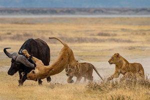 CLIP: Đại gia đình sư tử quật ngã, xé xác trâu rừng