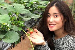 Vườn dâu tây Mộc Châu tại Hà Nội làm xôn xao giới trẻ