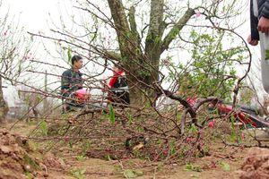 Một chủ vườn uống thuốc sâu tự tử sau vụ hàng trăm gốc đào bị phá hoại