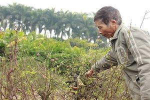 Một chủ vườn uống thuốc sâu tự tử sau vụ phá vườn đào ở Bắc Ninh