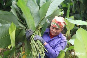 Trăm hộ dân 'hốt bạc triệu' từ trồng lá dong phục vụ Tết