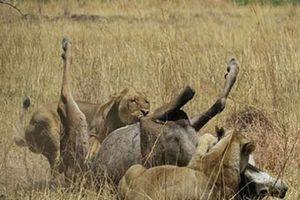 CLIP HOT (22/1): Sư tử nhận cái kết 'đắng' vì tấn công linh dương, chàng trai 'lãnh đòn' vì thách thức bò tót