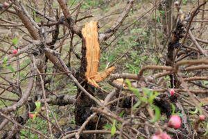 Hàng trăm gốc đào bị chặt phá và sự rủi ro đáng sợ